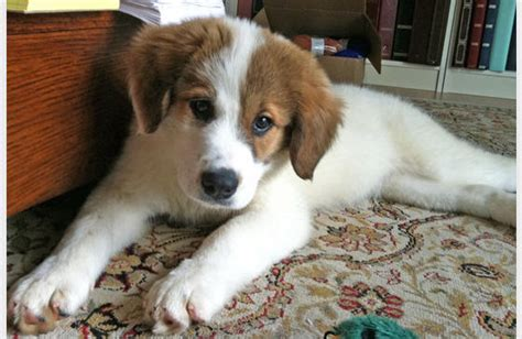 pyrenees mix puppies border collie great pyrenees mix puppies breeds picture