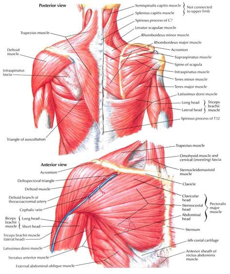 diagram back muscles muscles of the back human back muscles diagram