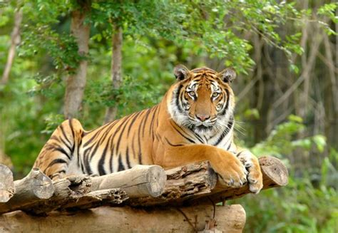 tiger biography in hindi wildlife sanctuaries in sri lanka serene tourist attractions