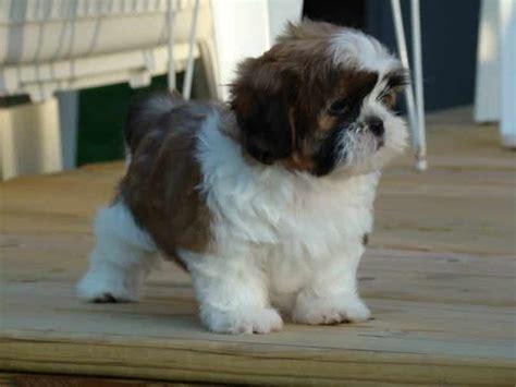 chinese dog breeds a canine friend of an oriental origin