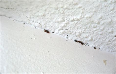 bed bugs on ceiling bed bug resource center
