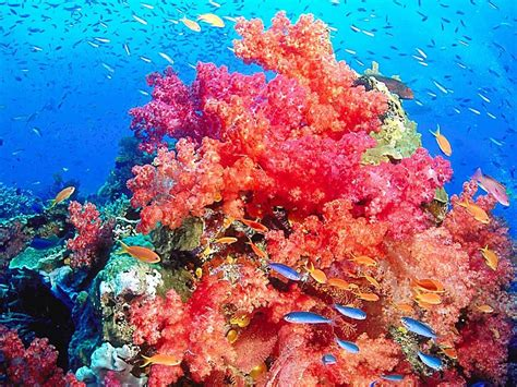 coral reef coral reef wallpaper for 2 free