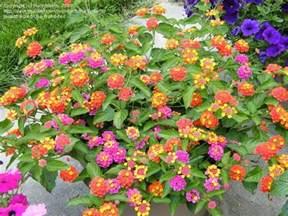 Garden Zone By Zip Code - plantfiles pictures lantana patriot firewagon lantana camara by marilynbeth