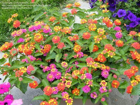 Sage Color plantfiles pictures lantana patriot firewagon lantana