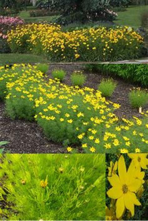 Pflanzen Im Japanischen Garten 827 by Panicum Virgatum Heavy Metal 5 6 X 2 3 Wide