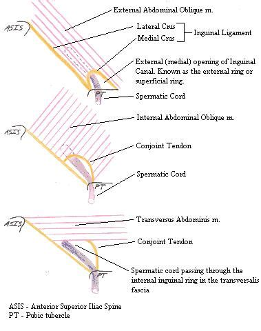 diagram of inguinal canal inguinalcanalcomplete