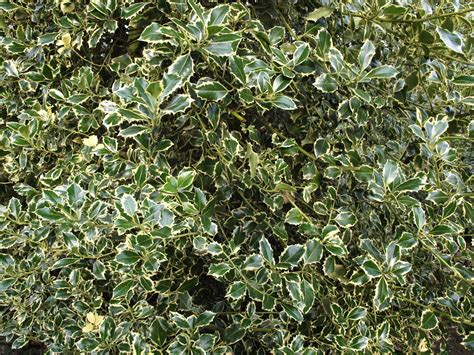 types of trees images reverse search holly tree varieties images reverse search