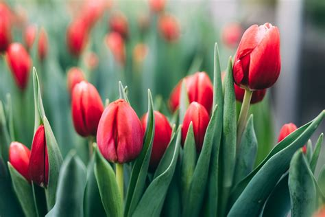 what color are tulips meanings of the different colors of tulips you weren t