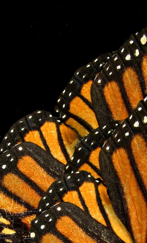 monarch design monarch butterfly wing www pixshark com images