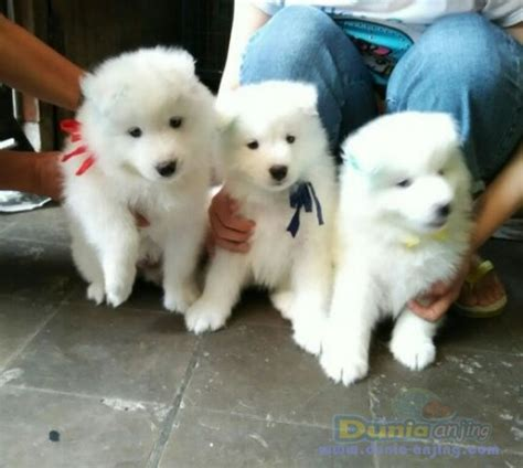 Anakan Anjing Samoyed dunia anjing jual anjing samoyed fs anakan samoyed