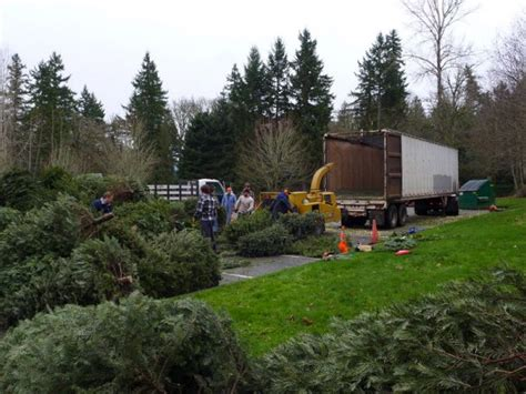 boy scouts to recycle trees on saturday january 4th 2014 sammamish wa patch