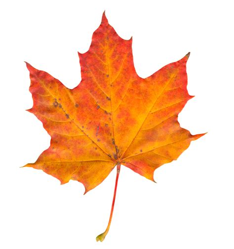 autumn leaf png www pixshark images galleries with