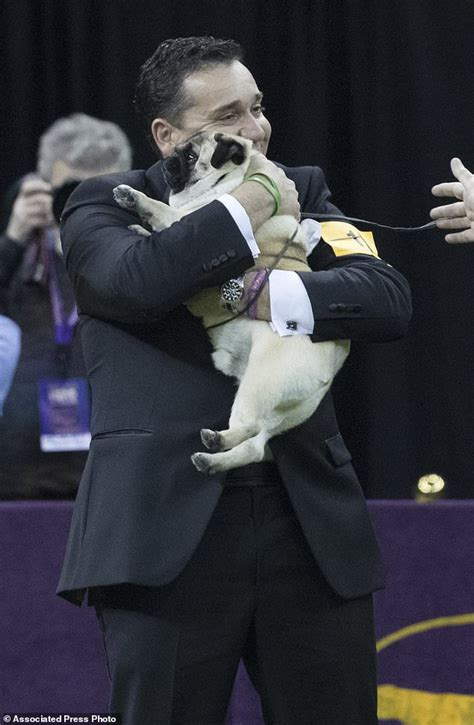 westminster pug the big win for biggie the pug at westminster show daily mail