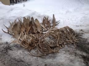 mad river antler delivery of a load of real antler sheds