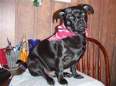 pug chihuahua dachshund mix black dachshund pug mix images