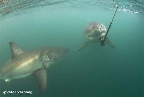 gopro shark research pictures great white sharks 171 verhoog