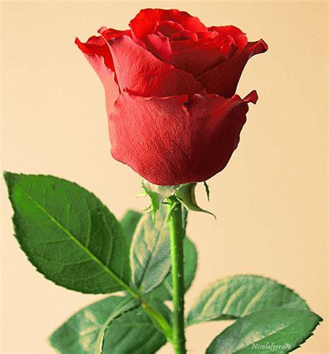 la rossa esoterismo grafico il simbolismo della rosa