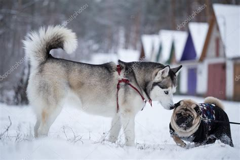 siberian pug siberian husky sniffs pug walking dogs in the winter