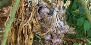 ail culture plantation et r 233 colte au potager