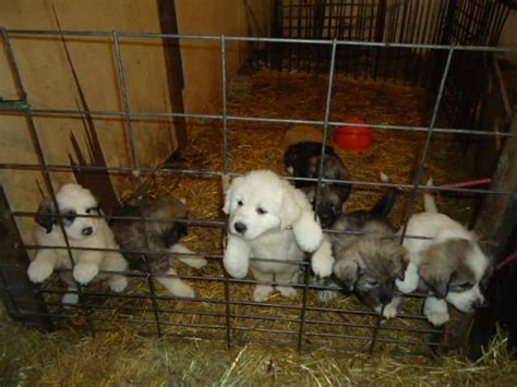 great pyrenees puppies for adoption great pyrenees puppies for sale adoption from maryfield saskatchewan breeds picture