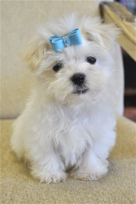 tiny havanese teacup and havanese puppies for sale in florida