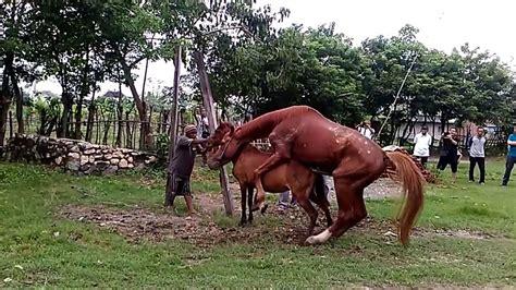 Sho Kuda kuda sumbawa kawin