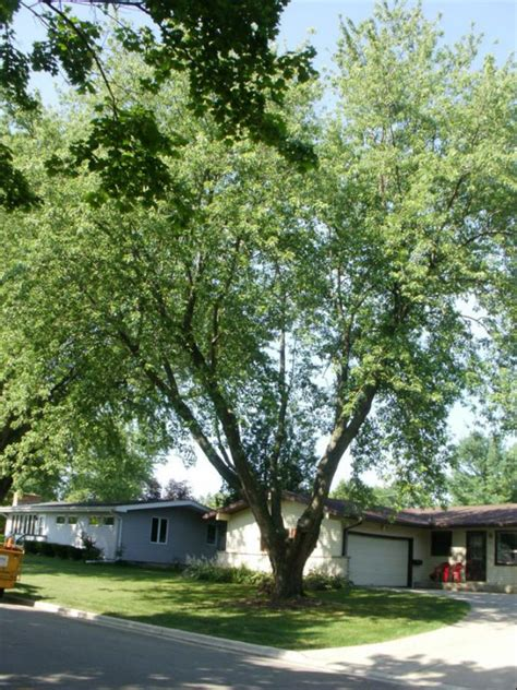 maple tree health silver maple tree pruning buckley tree service