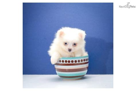 snowball pomeranian meet snowball a pomeranian puppy for sale for 295 teacup snowball www