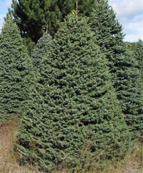black hills spruce wholesale christmas trees
