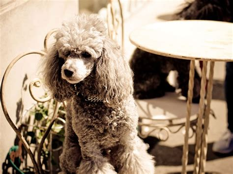 popular poodle names 98 most popular poodle names