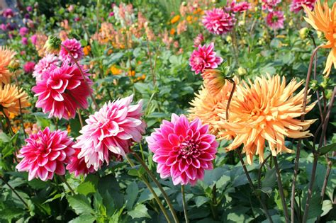 grow l for plants dahlia growing tips caring for dahlia plants in the garden