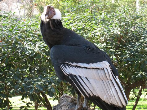 andean condor phone desktop wallpapers pictures  bckground images