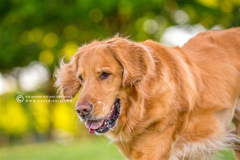 golden retriever northern va photography by riddle
