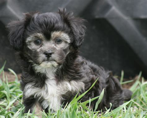 havanese eye problems pawpawrazzi pups