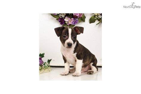 bojack puppies boston terrier puppy for sale near williamsport pennsylvania 85c5fef5 fdd1