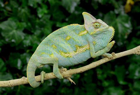 sub adult blue veiled chameleons for sale buy sub adult veiled chameleons fl chams
