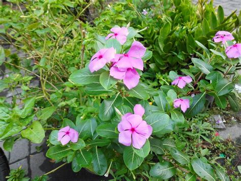 khasiat dan manfaat tanaman untuk obat khasiat dan