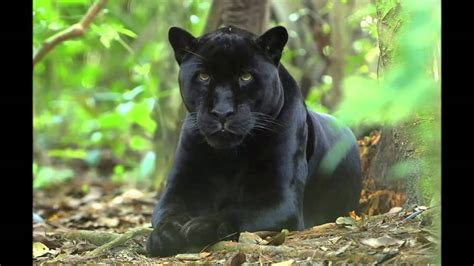 imagenes negras felinos la pantera negra black panther youtube