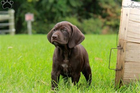 gsp puppies for sale near me german shorthaired pointer puppy for sale near lancaster pennsylvania 92f01a97 b571