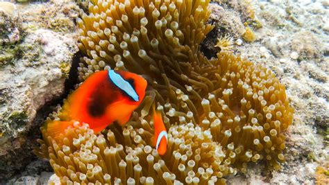 anemone dictionary anemone fish definition meaning