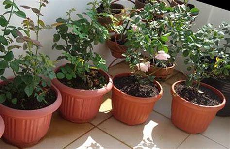 Biji Bunga Mawar Merah cara budidaya tanaman hias mawar secara hidroponik