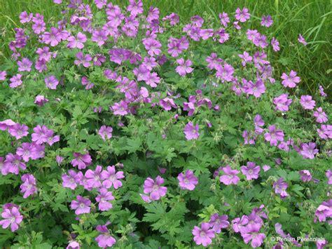 Garden Flowers A Z Geranium Sirak Penlan Perennials Nursery