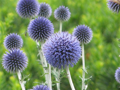 globe thistle by alfred ng