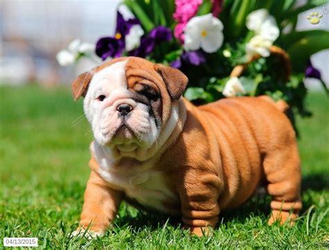 bulldog puppies pa bulldog puppy for sale in pennsylvania bulldog puppies