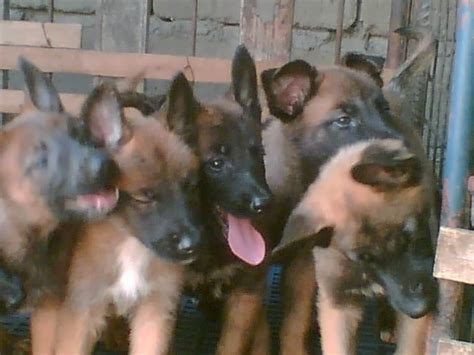 belgian malinois rescue puppies belgian malinois puppies for sale adoption from laguna adpost classifieds