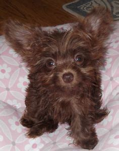 chipoo puppies chi poo chihuahua poodle mix info puppies temperament picture