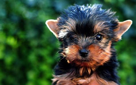 facts about teacup yorkies yorkie puppies facts