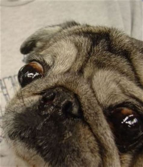elongated palate in pugs brachycephalic breeds daily discoveries