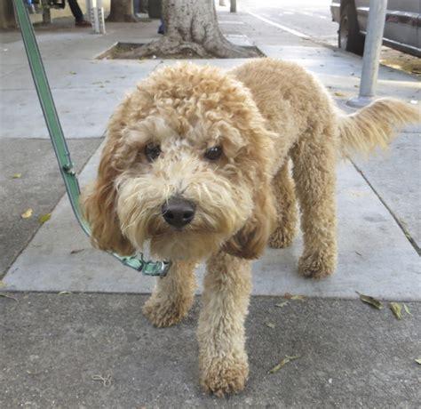golden retriever hypoallergenic mix labradoodle labrador retriever poodle mix