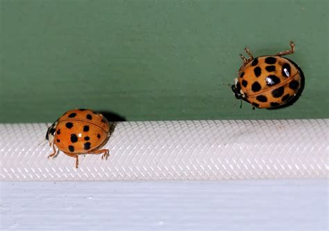 why are there so many ladybugs in my house ladybugs in my house house plan 2017